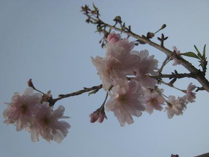 4/15 八重咲き富士桜