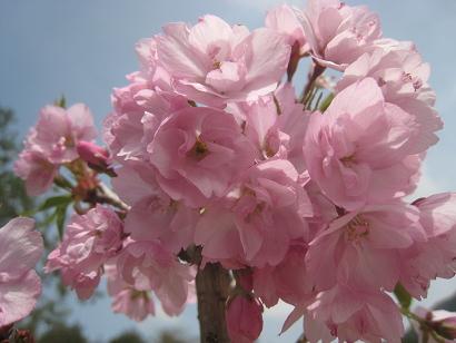 4/22 旭山桜