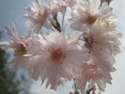 4/22 八重富士桜