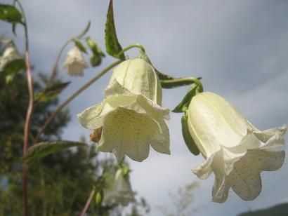 ほたるぶくろ 白花二重咲