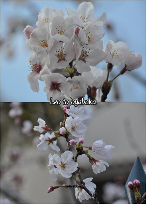 桜もきれいに咲き始めていたよ♪