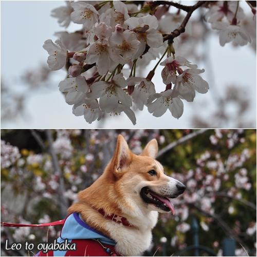 まだ7分咲きの桜を見ながら♪