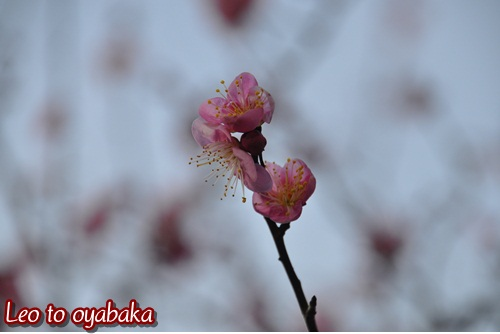 梅さんが綺麗に咲き始めていたよ♪
