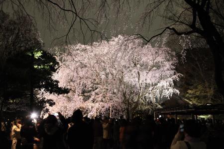 六義園の夜桜2