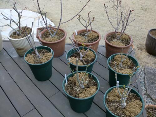 鉢バラ春の施肥