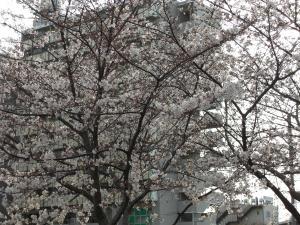 満開まじかの桜