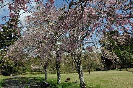 桜の木の間に
