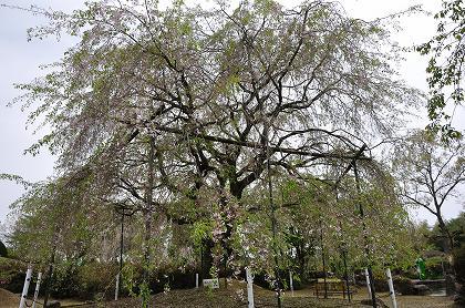 大きな枝垂桜