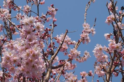 250308 てんすい桜6