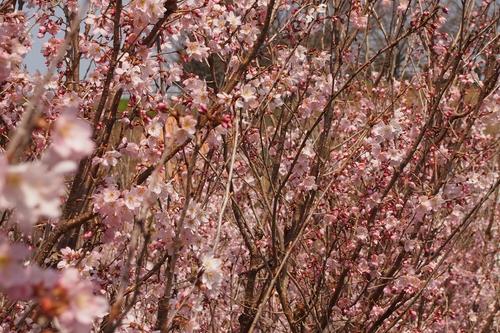 250308 てんすい桜5