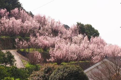 250308 てんすい桜2