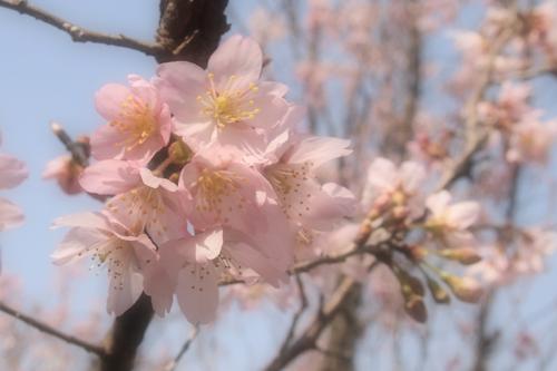 250308 てんすい桜12