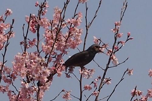 250308 てんすい桜7
