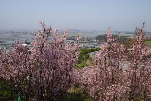 250308 てんすい桜9