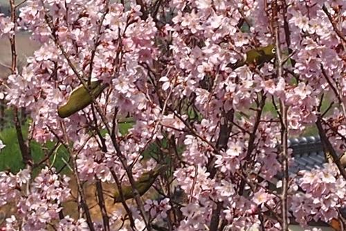 250308 てんすい桜8