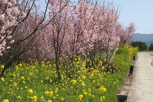 250308 てんすい桜10