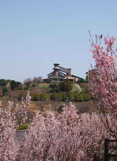 250308 てんすい桜17