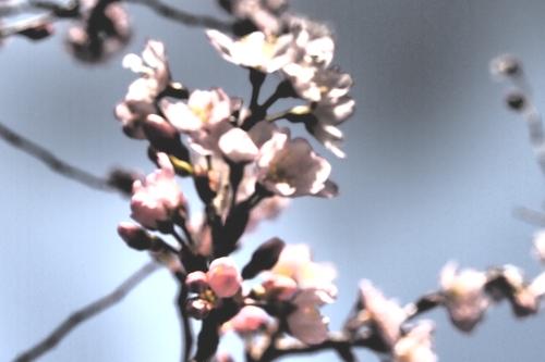 250308 てんすい桜15