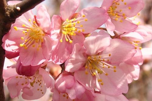 250308 てんすい桜16