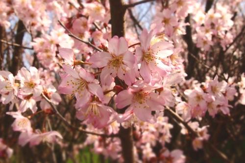250308 てんすい桜14