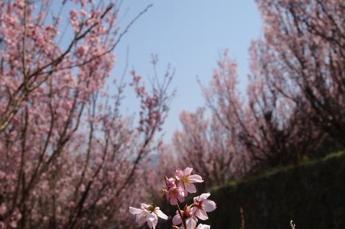 250308 てんすい桜20