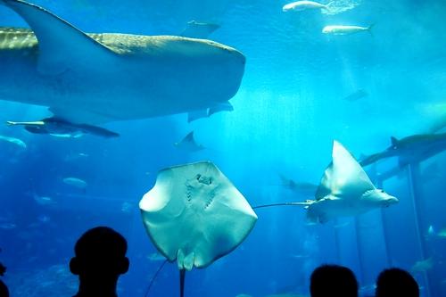 250306 美ら海水族館8