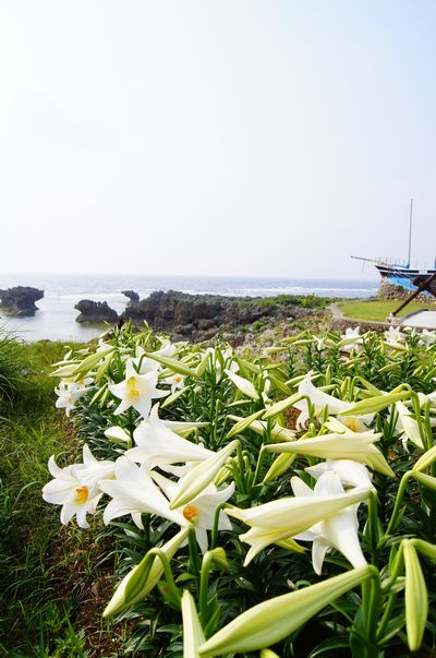 240420 ウジジ浜ユリ1