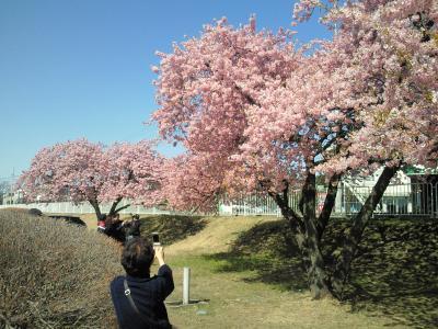 敷島河川敷 河津桜