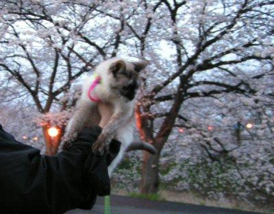 近所の桜とタヌさん
