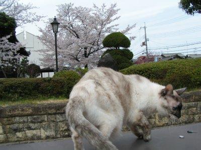 タヌさんと桜