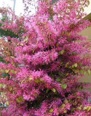 庭の常磐万作の花