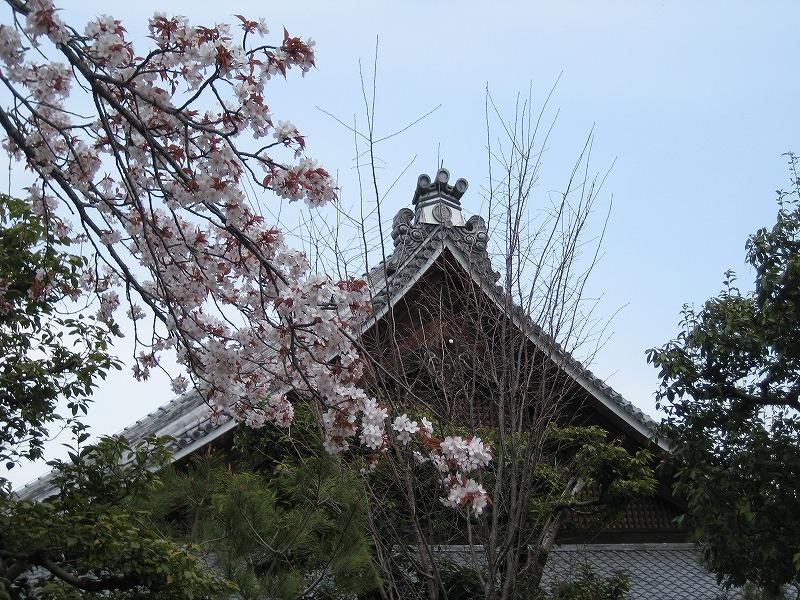 桜・天竜寺
