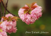 yaesakura2.jpg