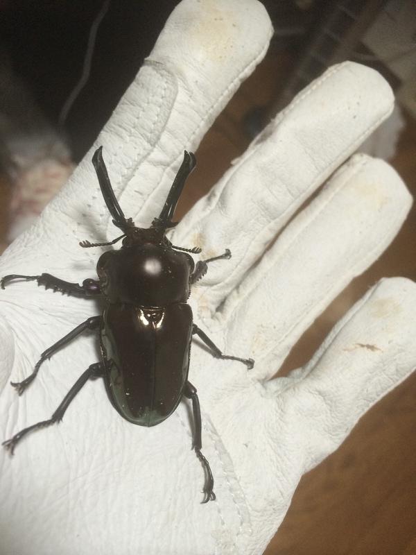 ブラックニジ♂1