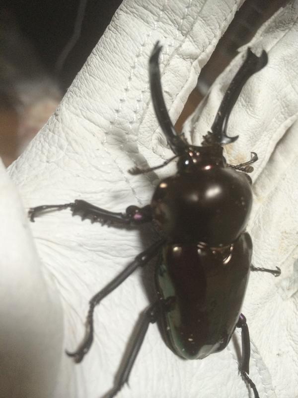 ブラックニジ♂2
