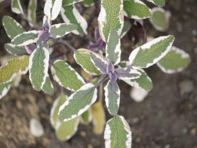 Salvia officinalis Tricolor