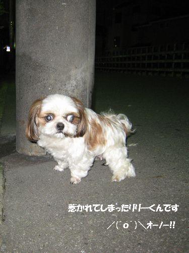 リリー(シーズー犬)