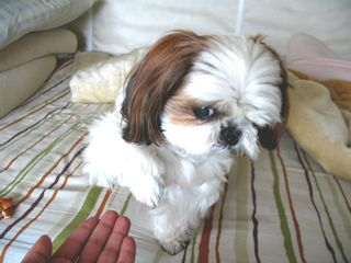 リリー(シーズー犬)白内障と緑内障