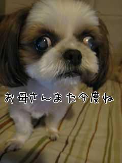 シーズー犬 白内障と緑内障