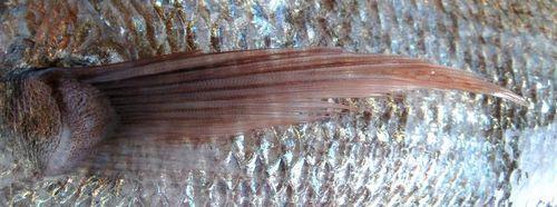 天然鯛 胸鰭