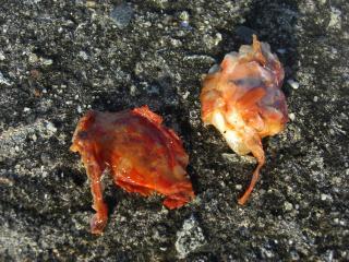 オオモンハタが吐いた甲殻類