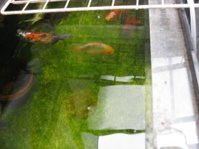 今日の金魚