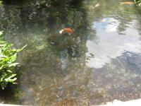 アフリカンシクリッドと鯉