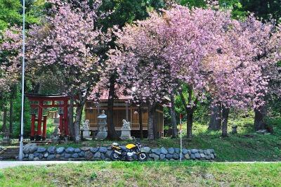 a5桜とバイク