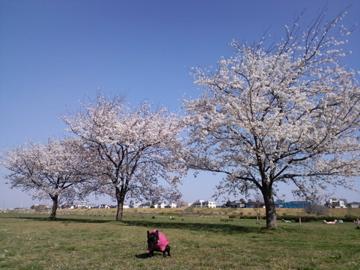 CA3Csakura20112.jpg
