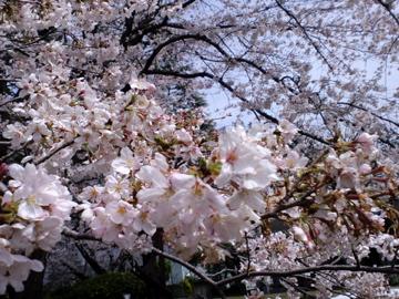 CA3Csakura4.jpg