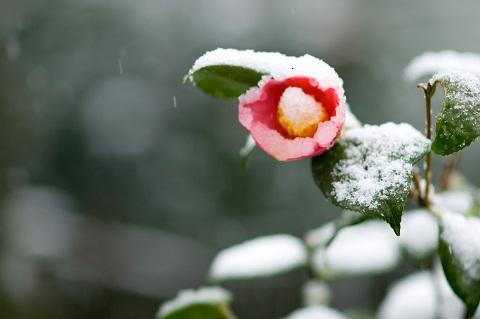 130111 雪椿