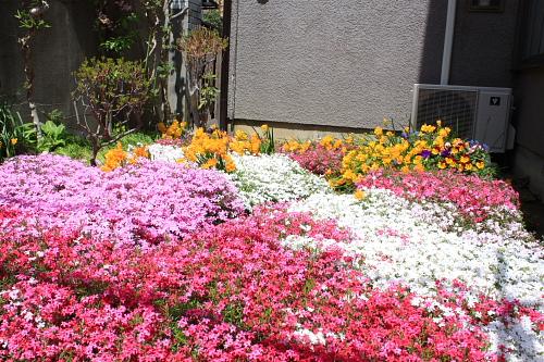 10芝桜5