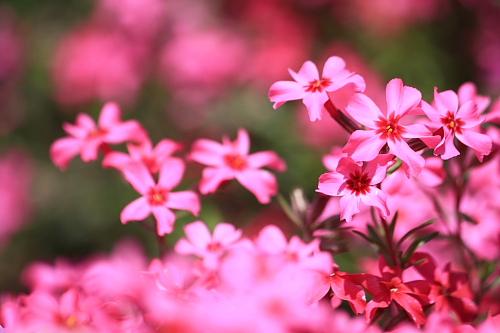 11芝桜1