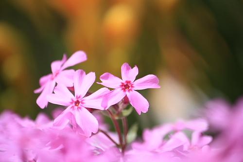 11芝桜3